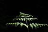 Darrington, White Chuck Bench - Single fern illuminated by sun against a dark forest