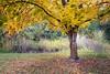 Kittitas, Thorp - Yellow maple tree