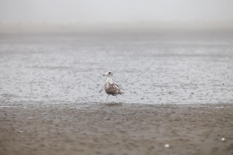 Grays Harbor, Seabrook - Bird on alert