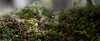 Hoh, Rainforest - Tiny yellow mushroom in a sea of moss