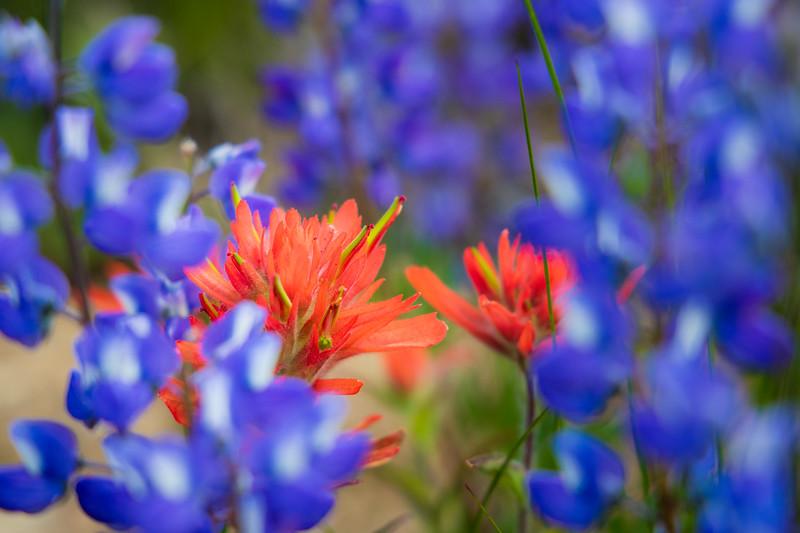 Harts Pass, Tatie Peak - Red Indian Paintbrush in sea of purple lupine