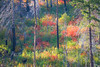 Leavenworth, Tumwater - Colorful brush intermixed with four different types of trees