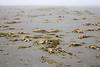 Grays Harbor, Seabrook - Thousands of dead crabs litter the beach