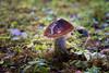 Hoh, Rainforest - Slime covered mushroom with orange cap and purple stem
