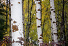 Easton, Lavender Lake - Tall aspen with several others in background, closer