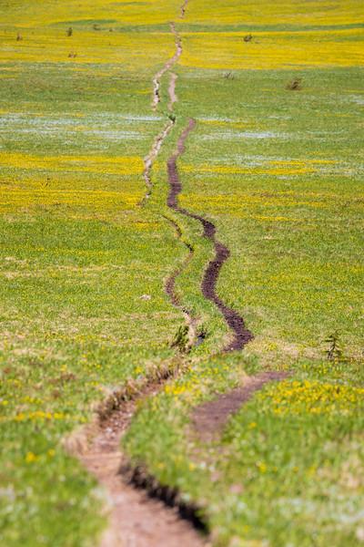 Rainier, Grand Park - Trail negotiating several small ridges through yellow flowers