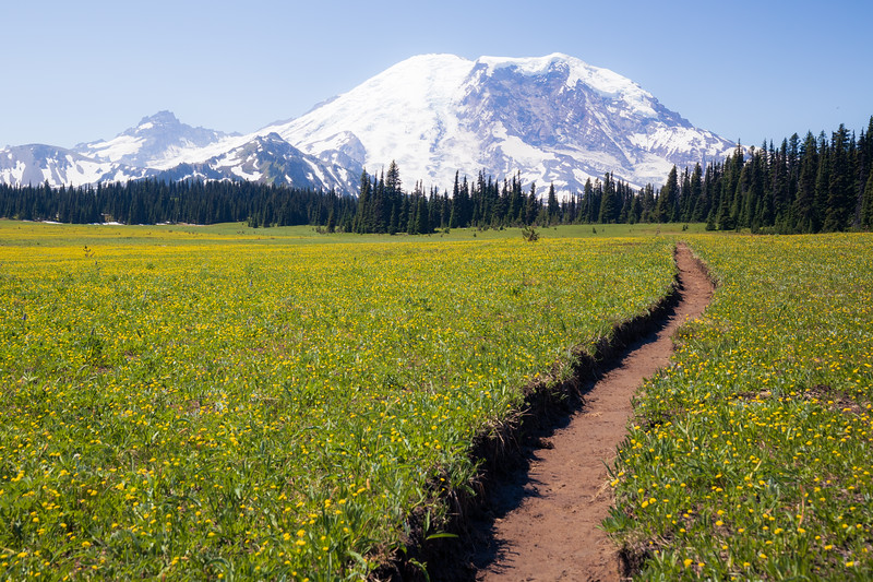 Rainier, Grand Park - Trail winding through field of yellow flowers, color