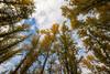 Kittitas, Cle Elum - Looking up at tall cottonwood trees