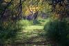 Kittitas, Thorp - Path through willow trees illuminated by sun