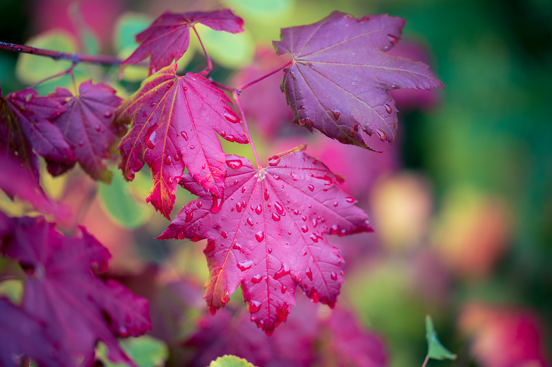 Easton, Pond - Bright red maple leaf with rain drops