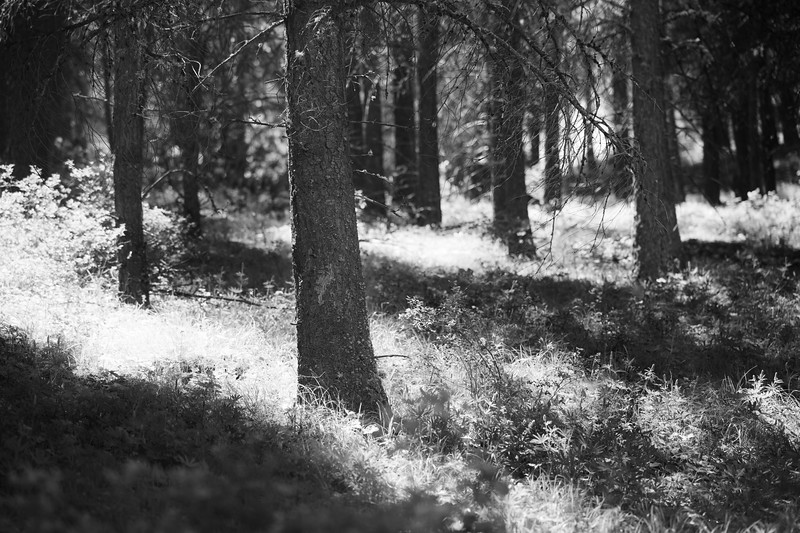 Kittitas, Watts Canyon - Light and shadows in tall trees on forest floor, black and white