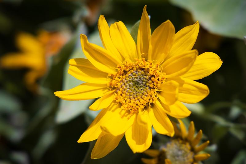 Kittitas, Peoh Point - Large yellow flower close up