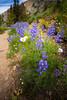 Harts Pass, Tatie Peak - Purple lupine and white daisies along trail