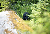 North Cascades, Thornton Lakes - Black bear trailside eating blueberries