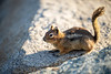 North Cascades, Cascade Pass - Chipmunk with tail in air
