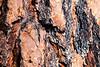 Methow, Falls Creek Falls - Close up of colorful Ponderosa Pine bark
