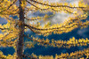 Rainy Pass, Cutthroat Pass - Close up of trunk and small branches of yellow larch tree