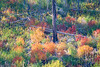 Leavenworth, Tumwater - Colorful brush on a hillside with downed trees
