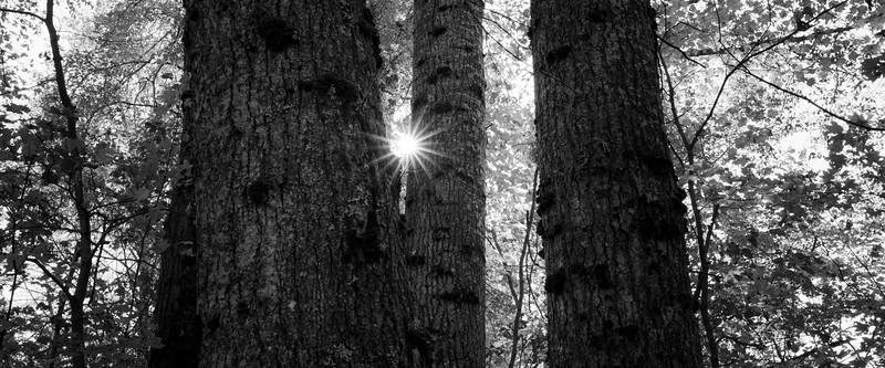 Easton, Pond - Sun peeking through three tall trees, black and white