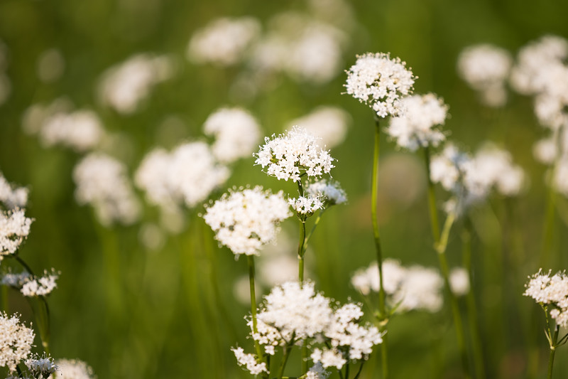 North Cascades, Cascade Pass - Small white wildflowers in a field of green