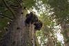 Darrington, North Fork Sauk - Interesting knot in tree