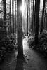 North Bend, Rattlesnake - Tree in middle of trail with sun star, black and white