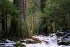 Darrington, North Fork Sauk - Large trees alongside a snow covered trail