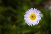 Harts Pass, Tatie Peak - Close up of daisy