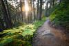 North Cascades, Cascade Pass - Sun illuminating trees, devils club, and trail
