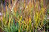 Rainy Pass, Cutthroat Pass - Colorful grass seen trailside