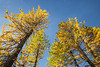 Stuart, Ingalls - Looking up at stand of larger larch trees against a blue sky