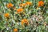 Kittitas, Teanaway - Close up of red Indian Paintbrush flowers
