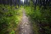 Pasayten, Horseshoe Basin - Trail through lodgepole pine forest in the rain