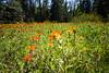 Kittitas, Teanaway - Field of Indian Paintbrush flowers