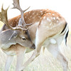 A Fallow Deer by Alex Taylor