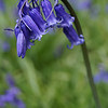 Bluebell by Bryn Gibbons