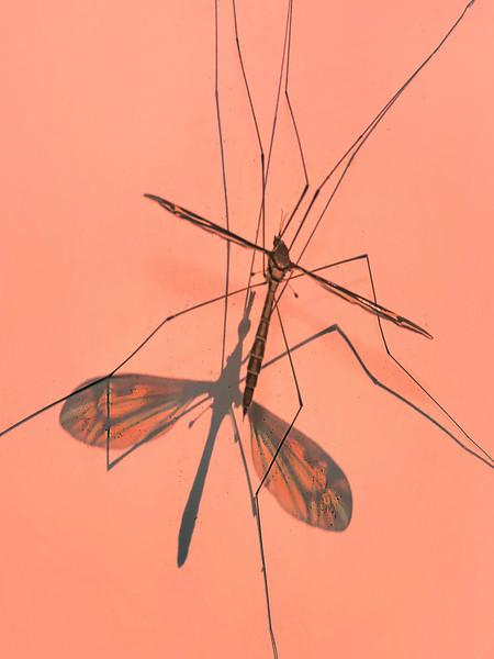 © 2017 Frank Hutnak - Crane Fly