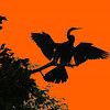 Anhingus Drying Its Wings At Sunset by John Brooks