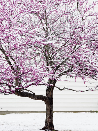 Snow on Cherry Blossom - Charlotte, NC