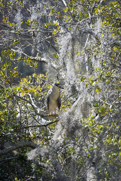 Black-Crowned Night Heron 10.jpg