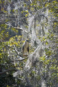 Black-Crowned Night Heron 10