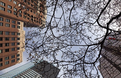 Looking up at a budding tree on Burrard Street.  Vancouver's historic art-deco Marine Building is on the left.