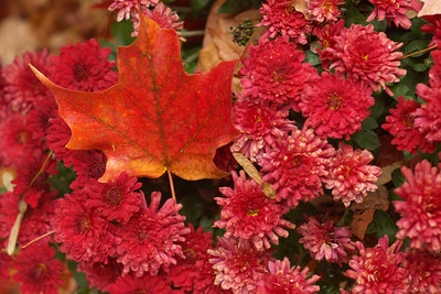 Red;Flowers;Leaves;Autumn