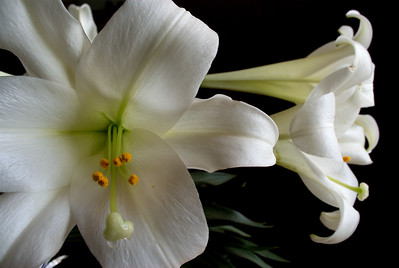 KennedyYear2008;White;Lily