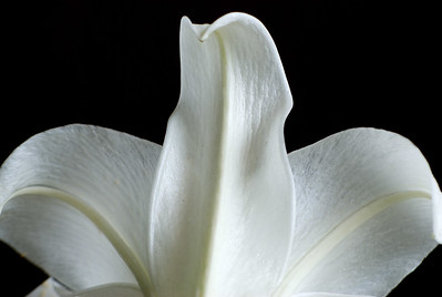 White;Lily