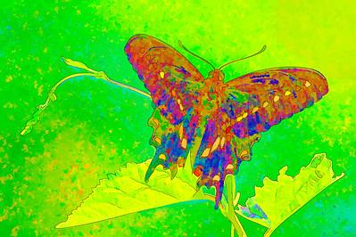 Black Swallowtail  08 19 10  022 - Edit-2