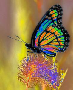 Viceroy Butterfly  08 06 09  036 - Edit-4