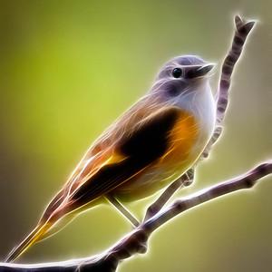 American Redstart female  05 09 11  027 - Edit - Edit-2