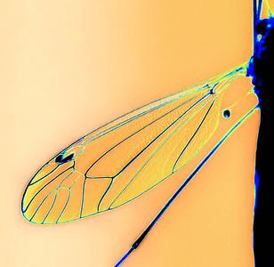 Tiger Crane Fly Nephrotoma macrocera  08 15 09  029 - Edit - Edit