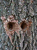Bird (woodpecker? sapsucker?) holes in the bark of a sassafras tree.<br /> These are some of the deepest holes of this sort I've ever seen.  They are two of many holes that have been pecked into the corky bark of this particular tree.  I can't help seeing eyes of an owl in this particular pair of holes.<br /> Look closely and see all kinds of tiny bits of green lichen growing on the surrounding bark.<br /> <br /> Near Cobblers Knob,<br /> Hidden Lake Gardens, Lenawee County, Michigan<br /> September 27, 2011